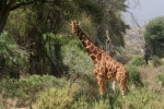 De giraf