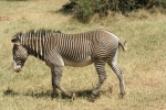 De zebra aan de wandel